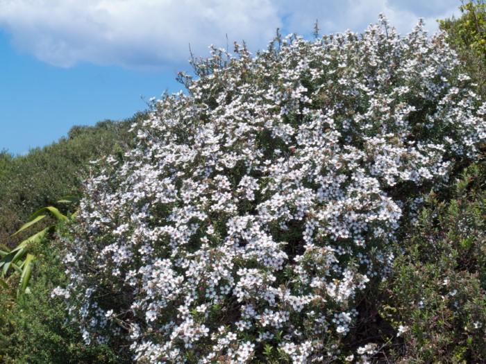manuka honey shrub with flowers