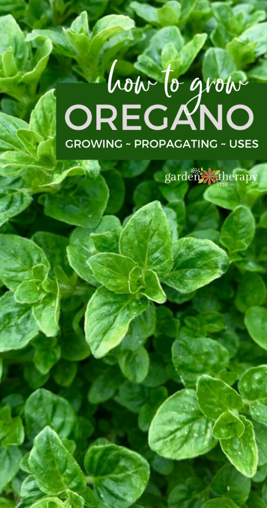 pinterest graphic about how to grow oregano