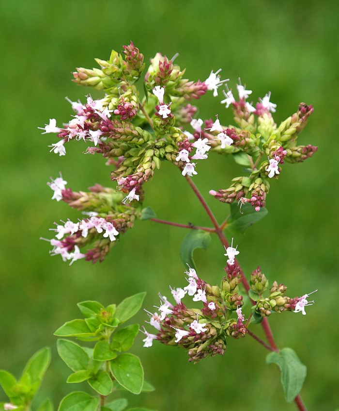Oregano plant flowering