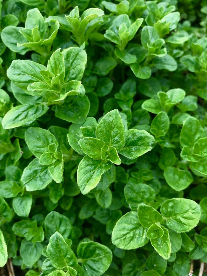 Oregano plant with bright green leaves