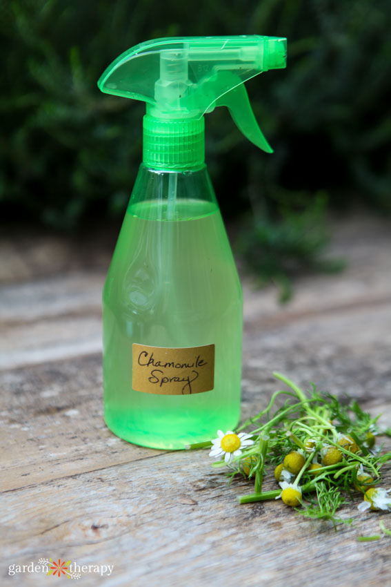 diy chamomile spray to prevent damping off in a glass bottle