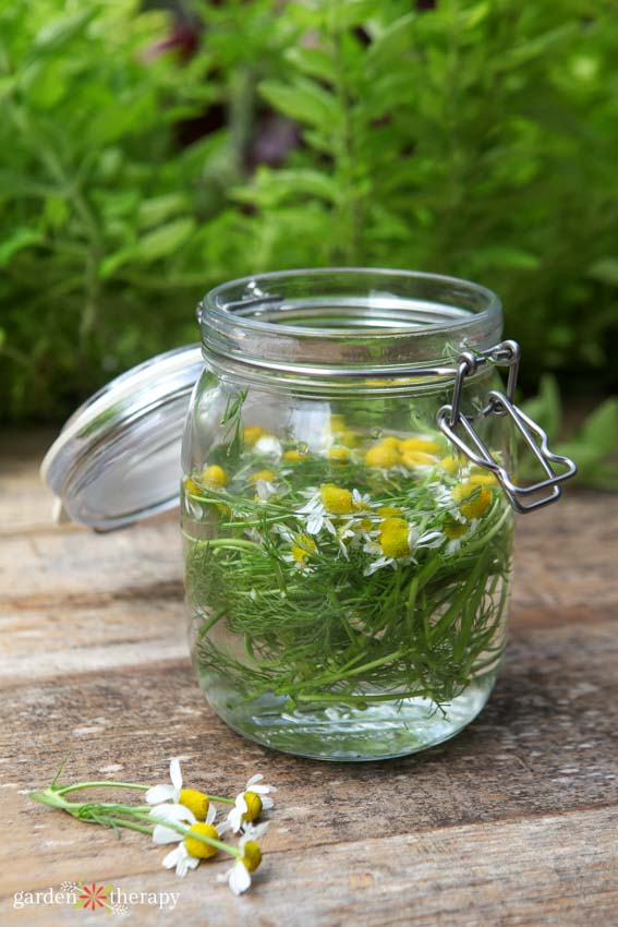 Fungicide for plants steeping with chamomile