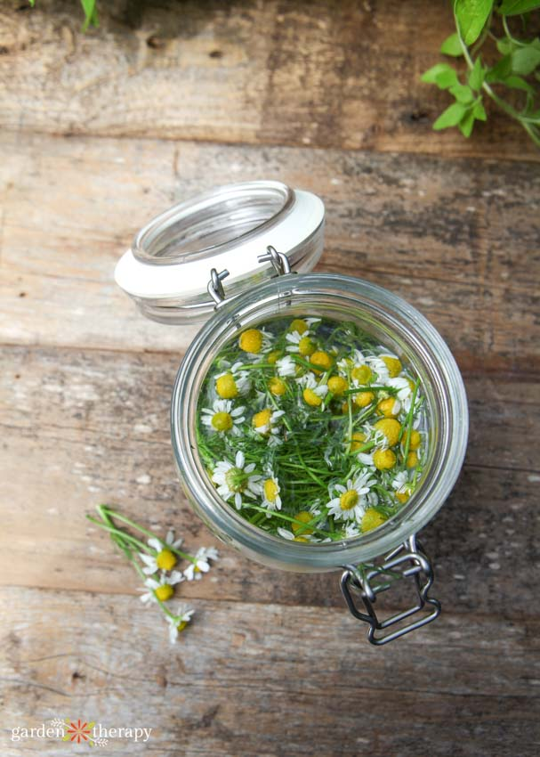 Container of chamomile seeping to create a fungicide for plants