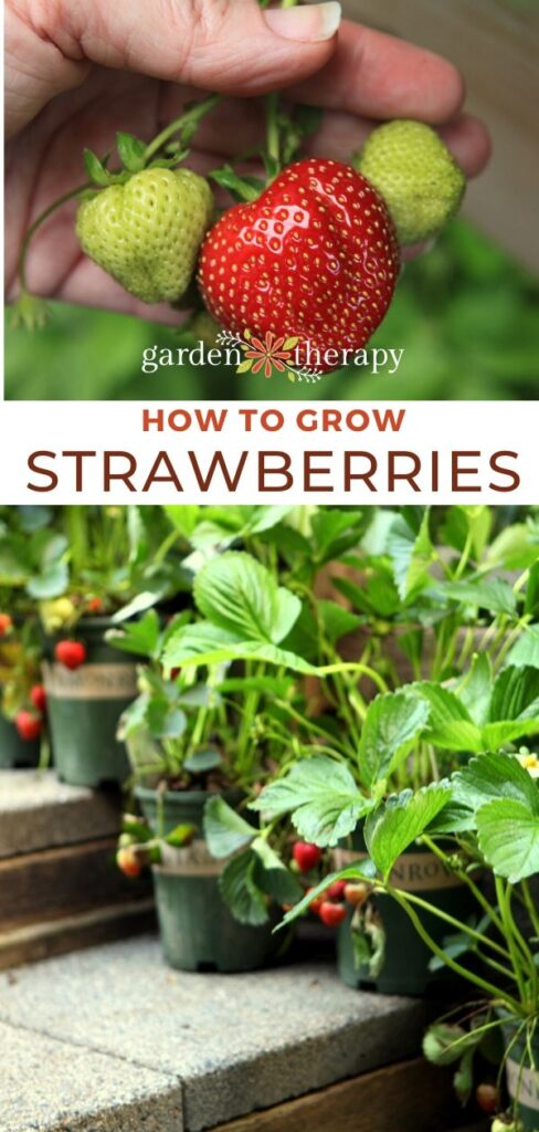 pinterest graphic for growing strawberries