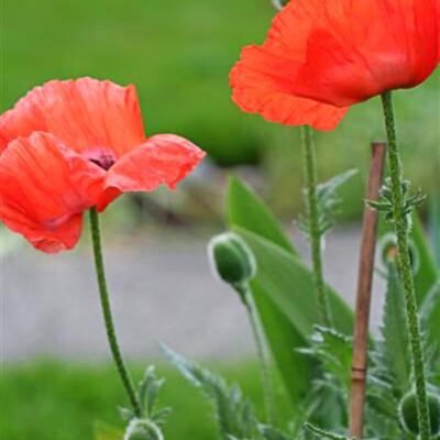 6 Must-Know Poppies + How to Grow these Pretty Poppy Flowers from Seed
