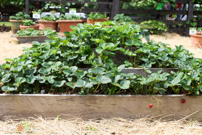 Raised Strawberry Planter