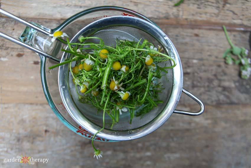 Chamomile being strained out of a spray for damping off