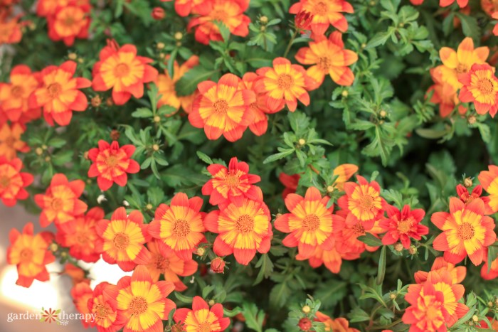 Hanging basket flowers - orange bidy boom wildfire bidens