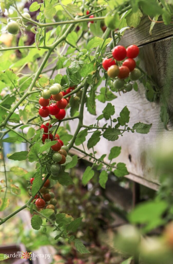 Currant tomato vine dangling down the side of a raised vertical garden