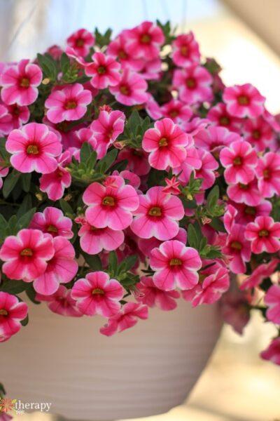 Hanging basket full of pink blooming calibrachoa.