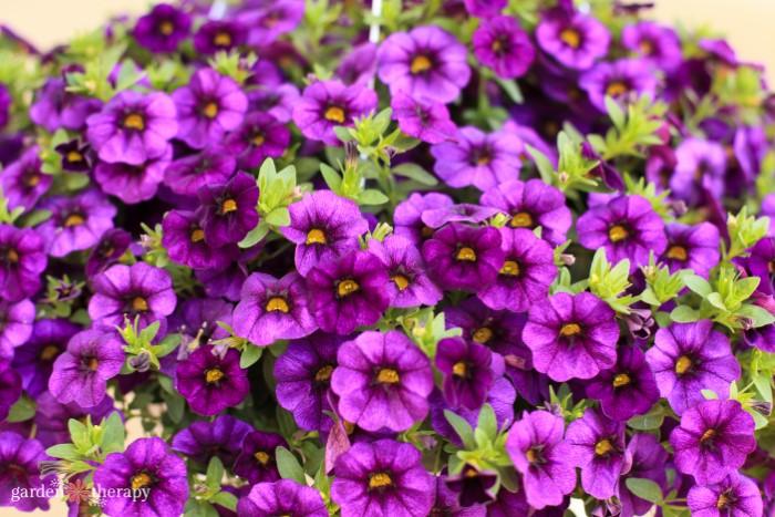 Close up of purple calibrachoa flowers