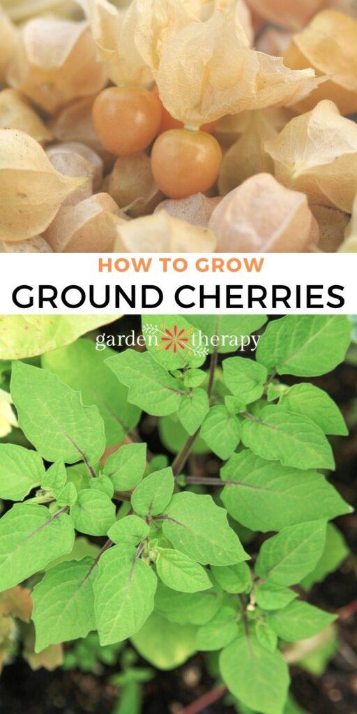 Pile of ground cherries next to image of flowering ground cherry plant