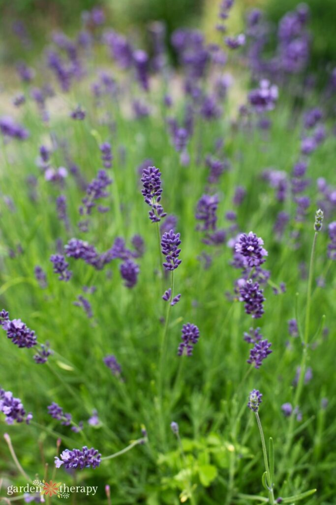 lavender plants in a garden