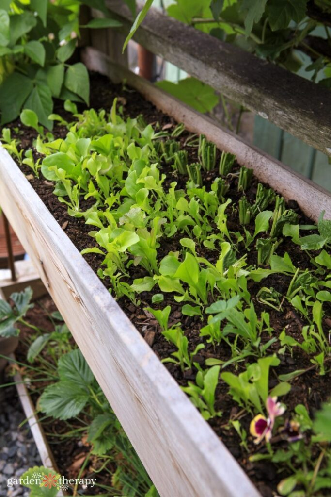 Lettuce seedlings growing in a raised garden bed.