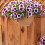 Purple petunias in a hanging basket