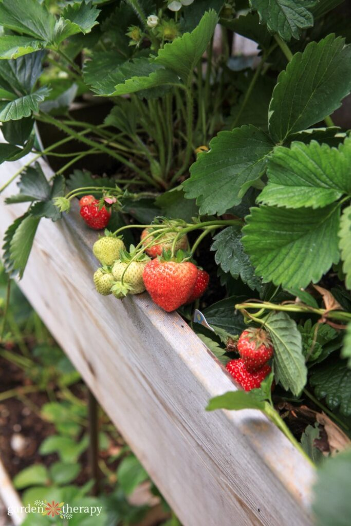 Strawberries growing in the top compartment of a raised garden bed.