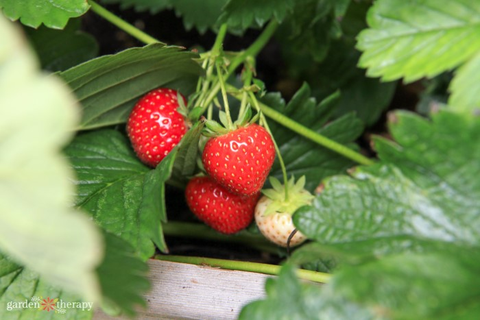how to save strawberry seeds