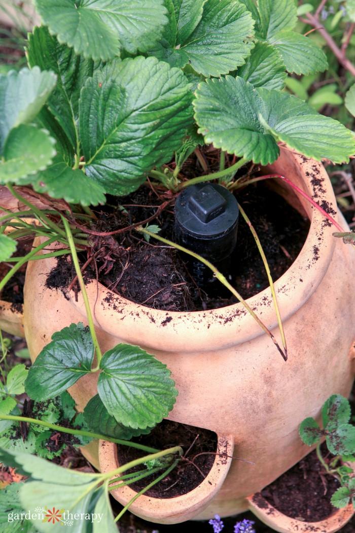 Strawberry Jar Irrigation