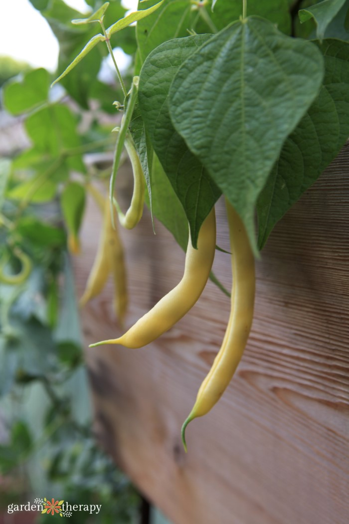 Yellow beans grown from seed hanging out of a wooden raised garden bed.
