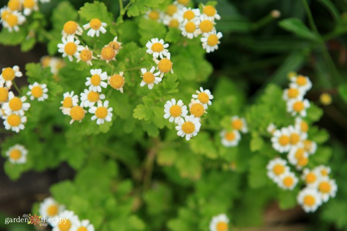 feverfew with aphids