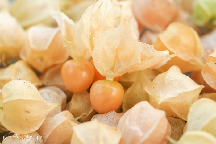 Pile of harvested ground cherries with the husk on