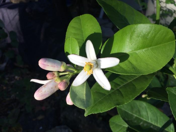 Flowering lemon tree