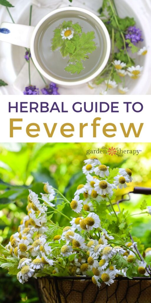 Feverfew plant guide