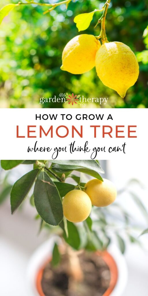 Yes! You CAN Grow a Lemon Tree