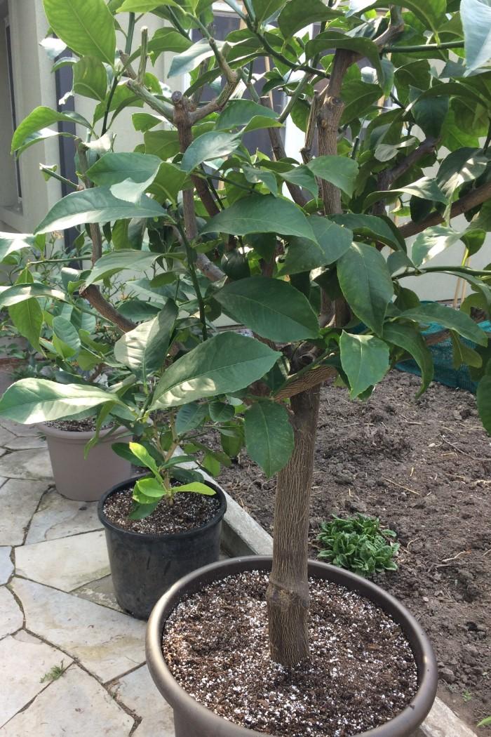 Potted lemon tree on a patio