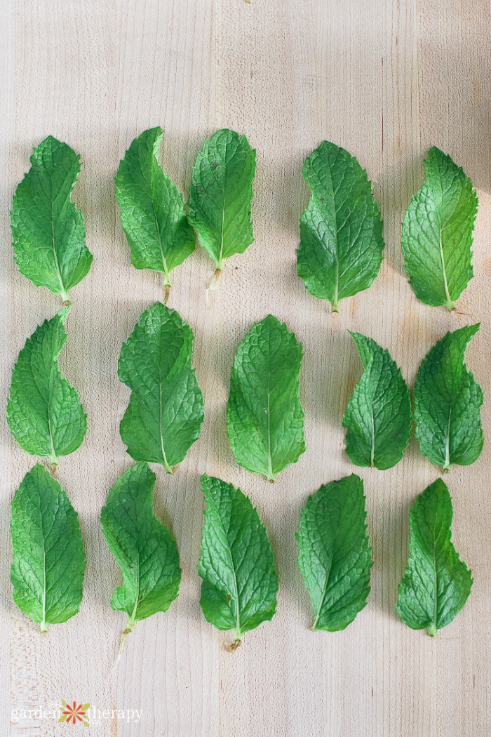 Leaves from a mojito mint plant