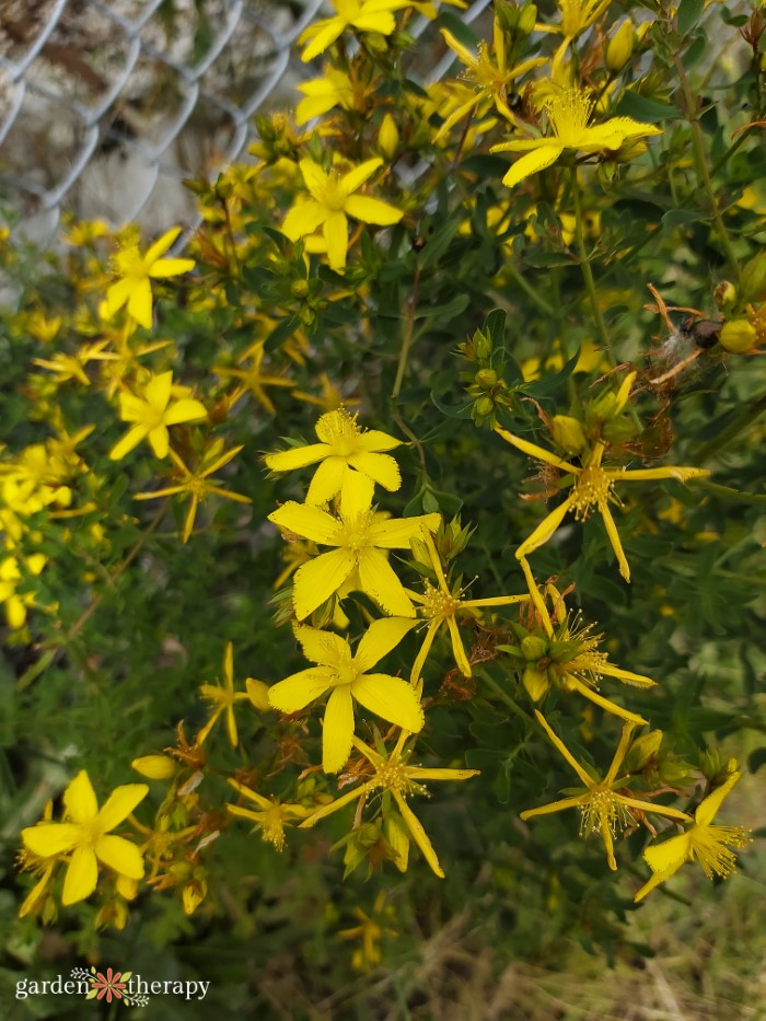 flowering bush of st. johns wort