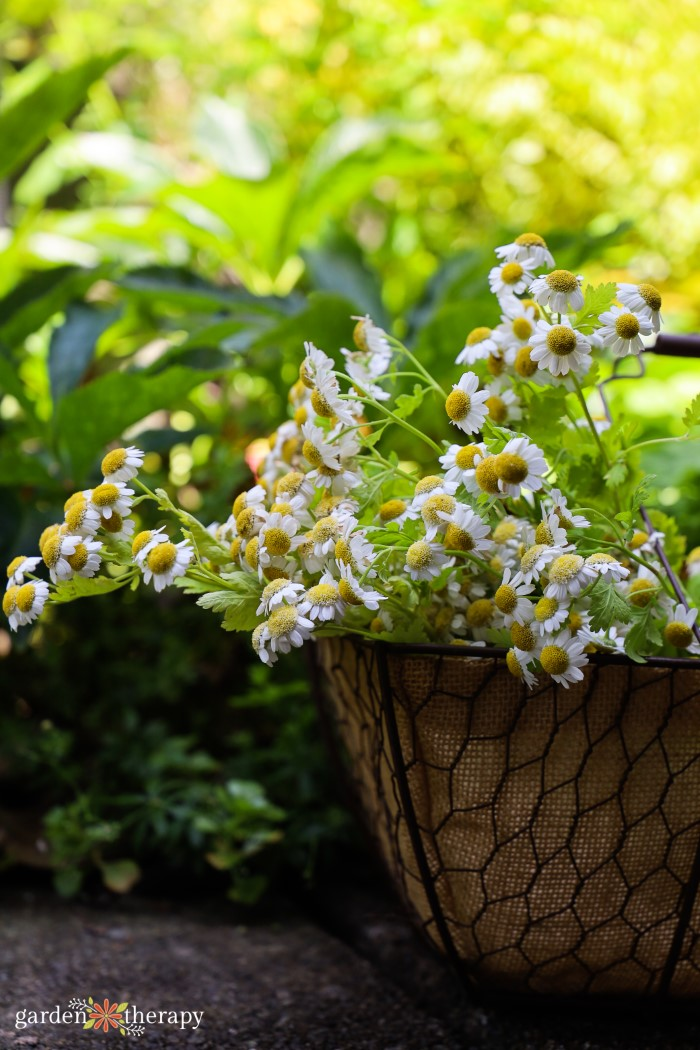 Basket filled with white flowers that have a yellow center.