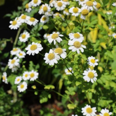 Herbal Guide to Feverfew