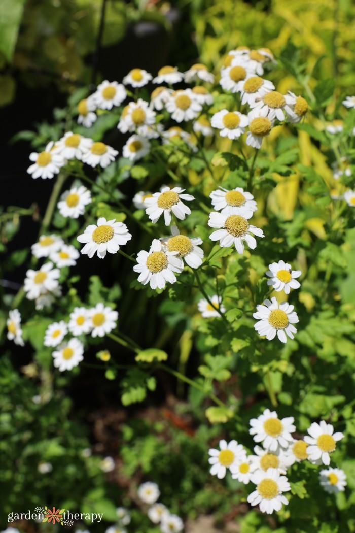 A clump of feverfew flowers
