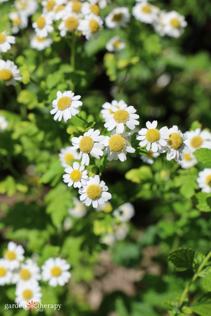 Feverfew blooming in a garden bed.