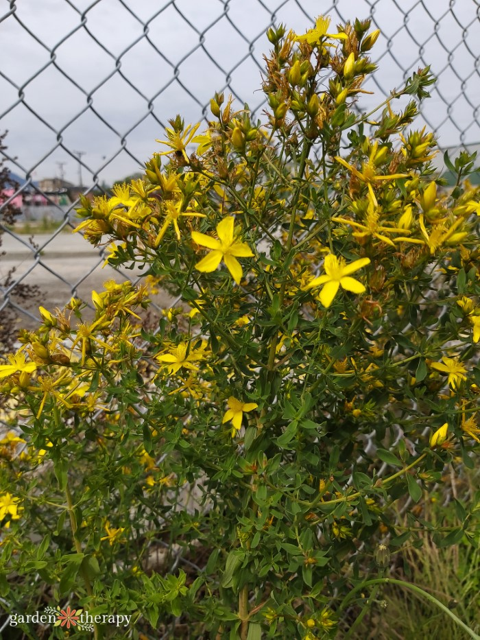 foraging st. john's wort by a chain link fence