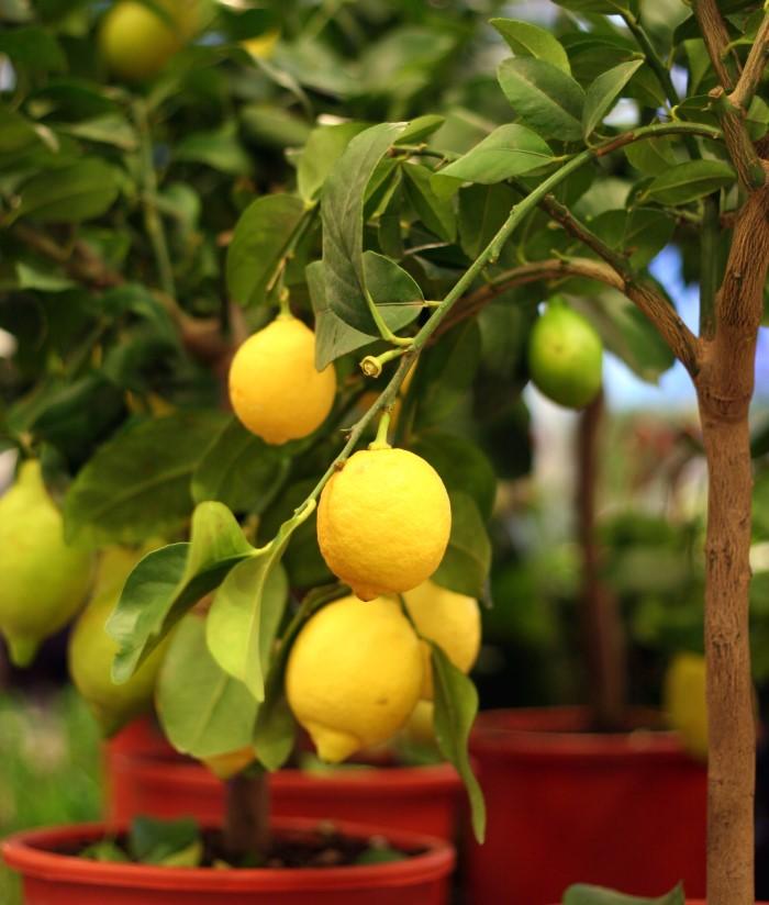 lemon tree with several lemons blooming in a cluster