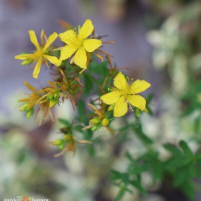 Herbal Guide to St. John's Wort