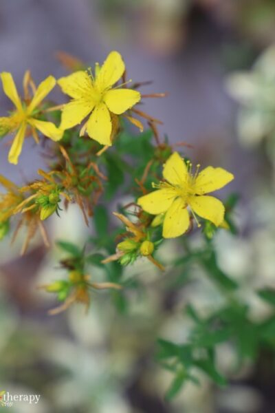 Close up of blooming yellow flowers on the St. John's wort plant