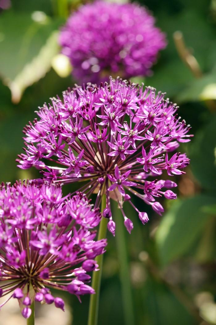 Blooming Allium purple sensation