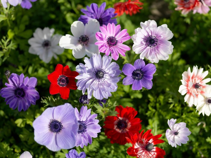 Anemone de caen mix in purple, pink, and red