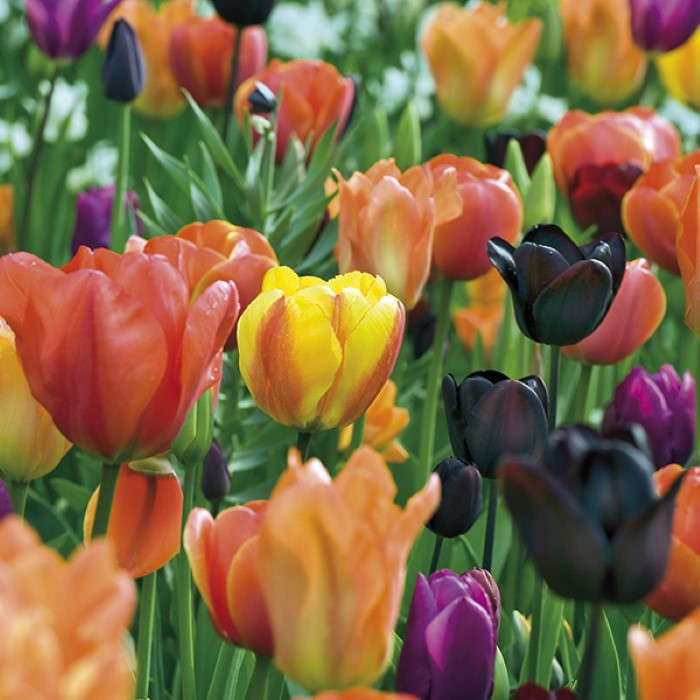 Tulip sunset blend in red, orange, purple, and yellow.