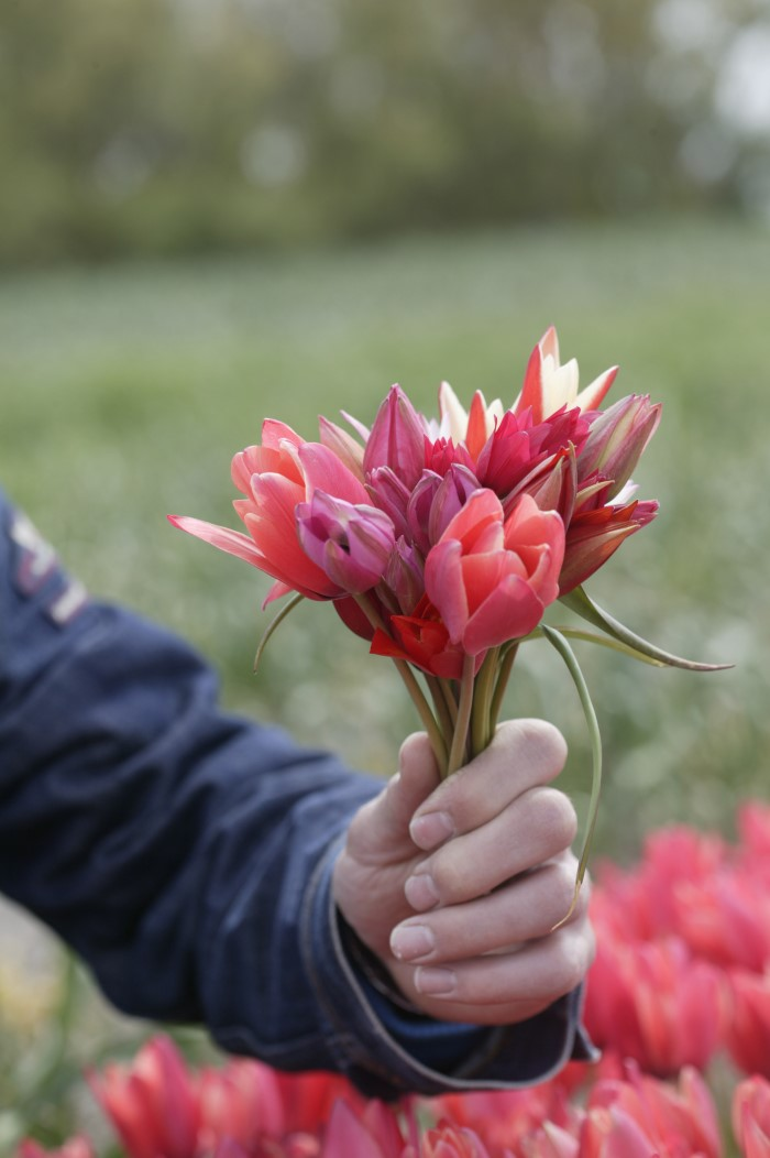 Bunch of tulips in a handheld bouquet