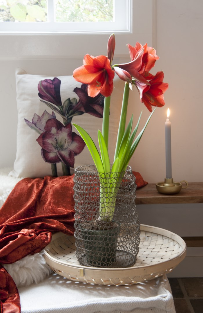 Amaryllis-Bulbs-Blooming-for-Christmas