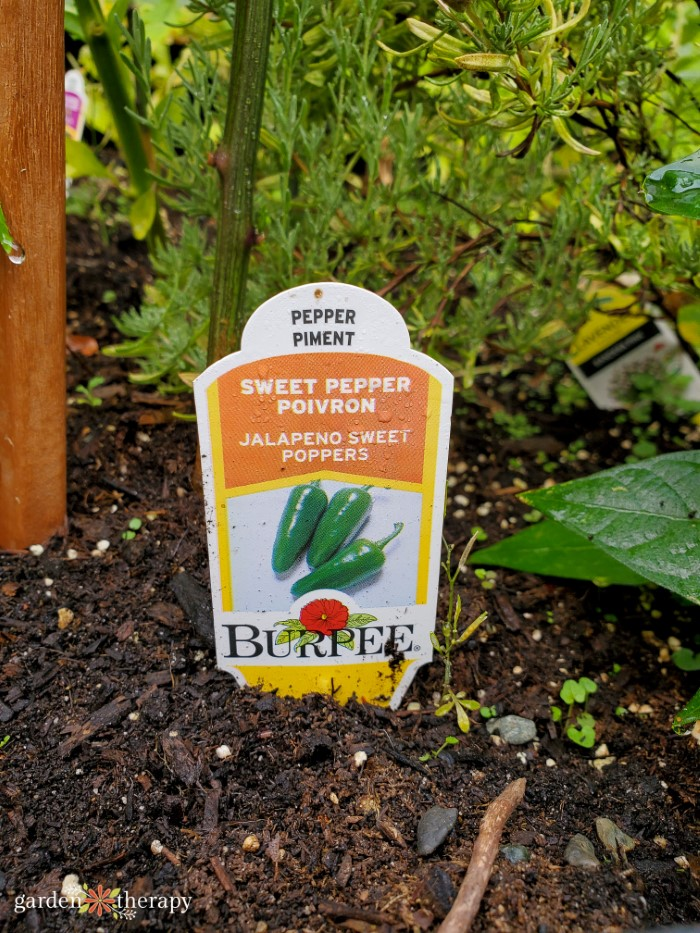 Burpee Jalapeno Sweet Poppers growing in the ground