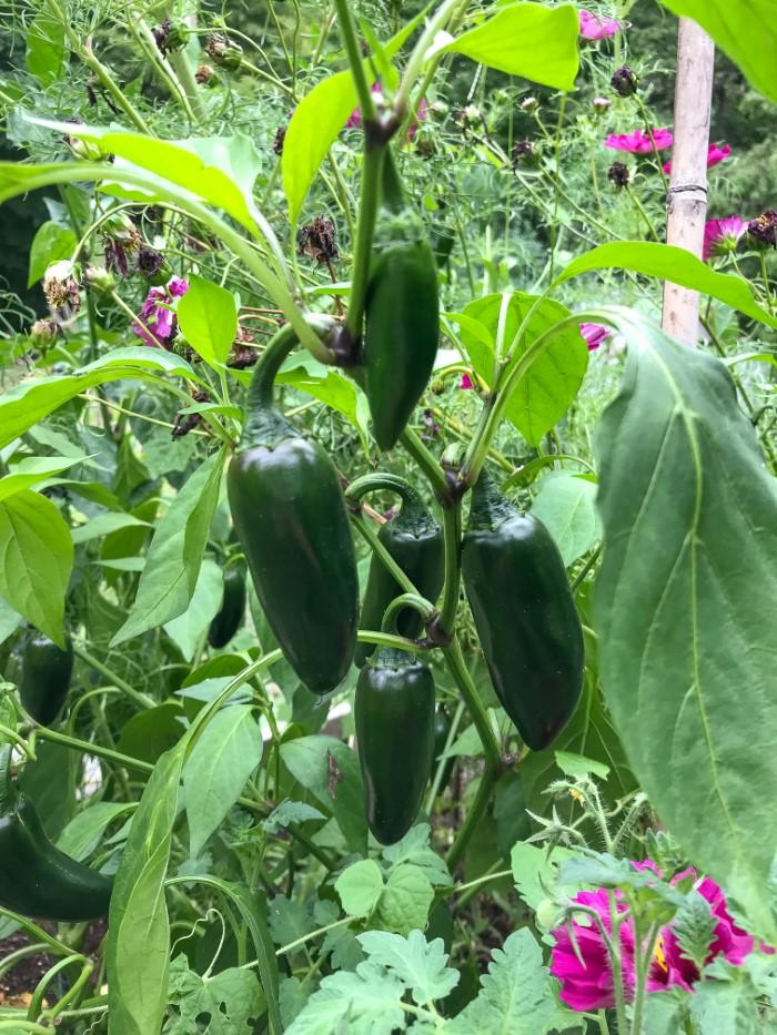 Burpee sriracha-peppers