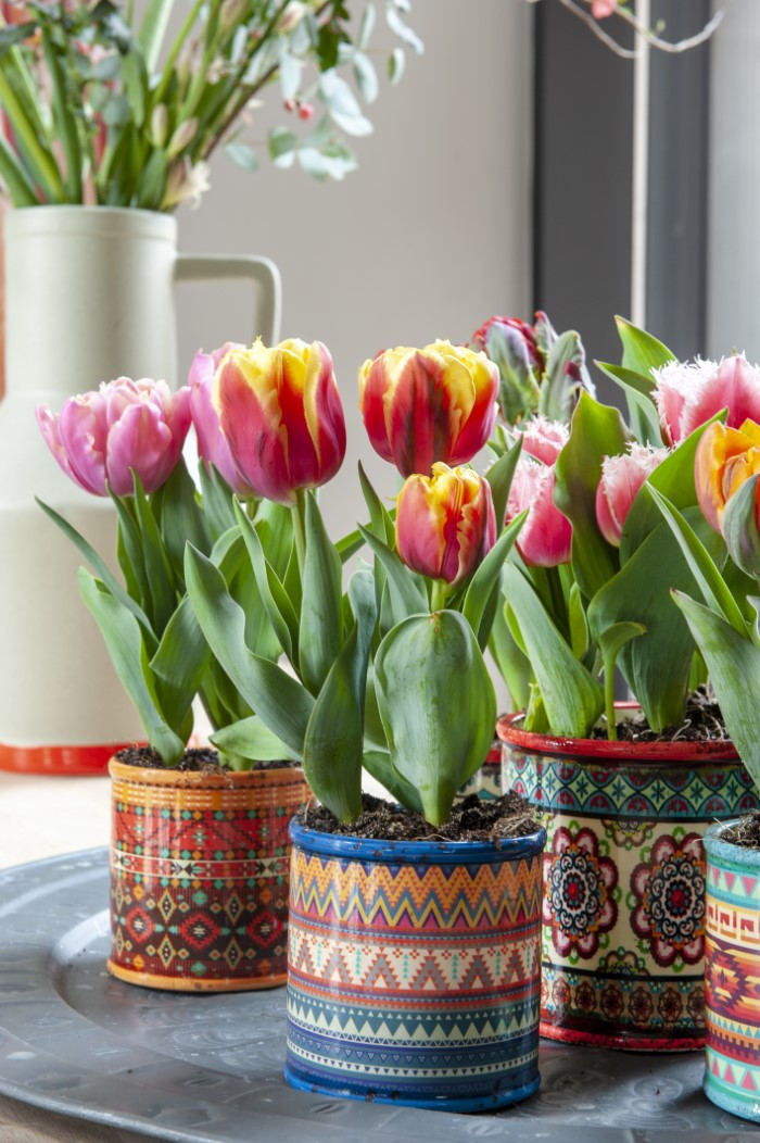 Tulips in colourful pots