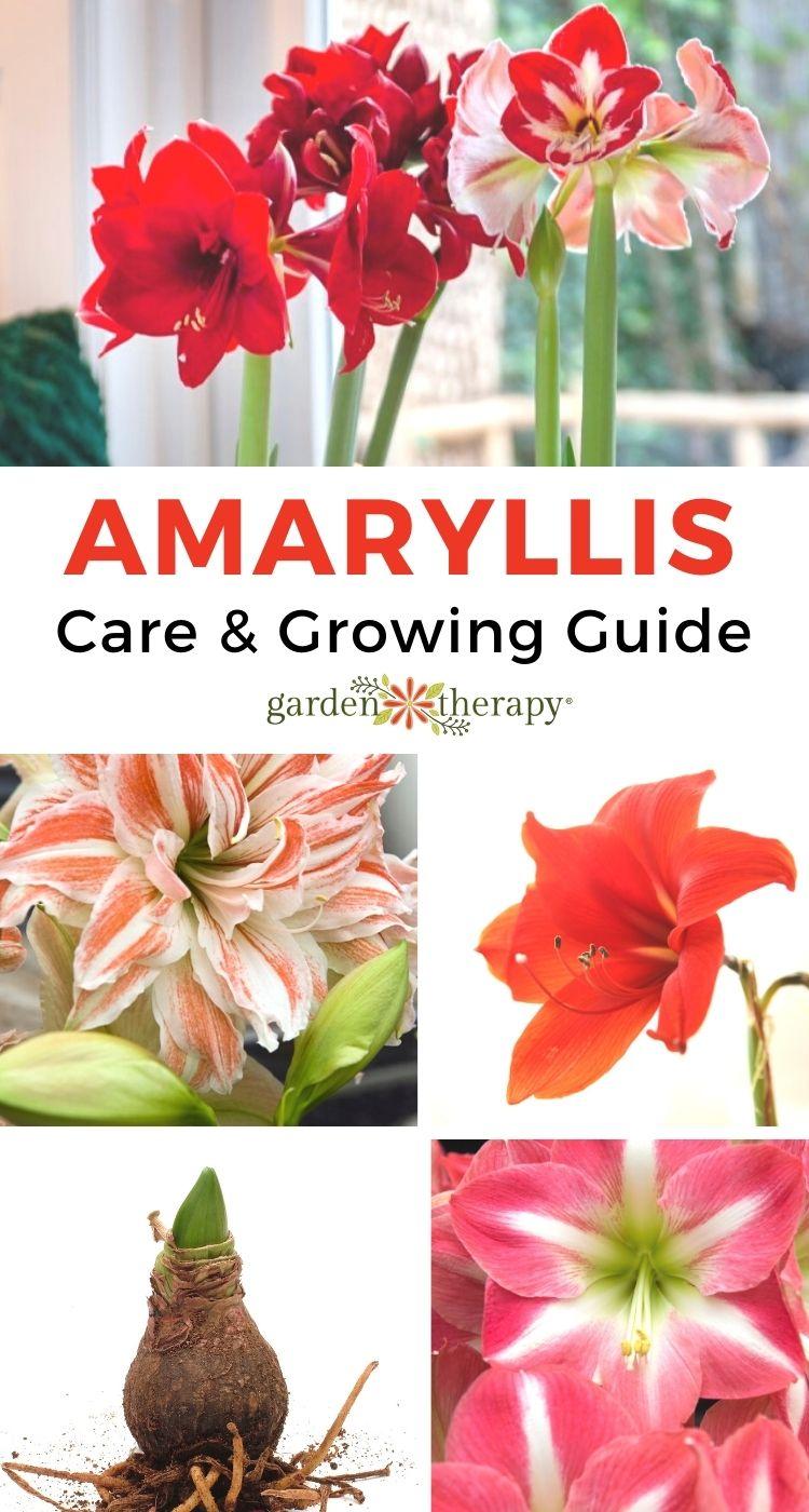 Guide to Amaryllis
