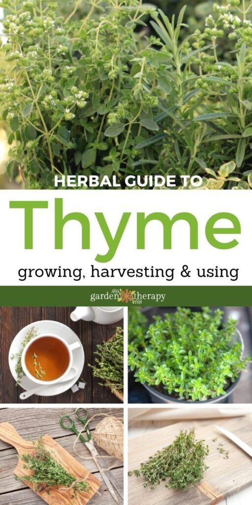 thyme benefits, how to grow thyme and how to harvest the thyme herb