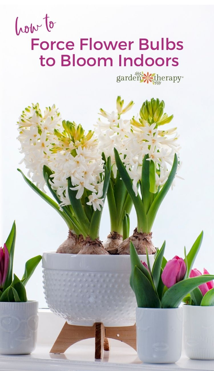 How to force Flower Bulbs to Bloom Indoors